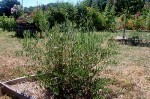 2013-julio-olive-1