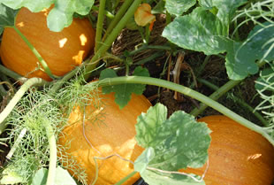 Pumpkins turning on the colour