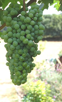 Grapes getting ready and sweet