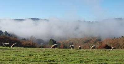 Flock of sheep in the morning mist