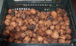 Walnuts galore